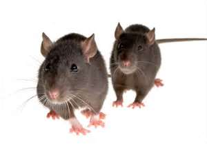 rodent control san clemente